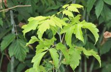 7公分金叶复叶槭多少钱一棵 复叶槭价格行情