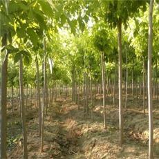 12公分金叶复叶槭价格河南金叶复叶槭便宜