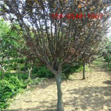 常年供应紫叶李树苗10公分-12公分紫叶李