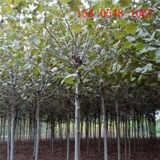 供应12公分13公分15公分法桐-法桐树苗