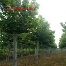 供应法桐树苗12公分15公分18公分法桐