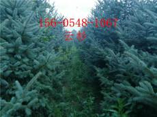 云杉2米3米3.5米4米云杉-青芊云杉報價
