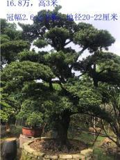 萝岗园区厂区小区造型景观树出租出售