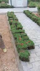 萝岗天河区哪里有卖草草皮 各种草坪出售
