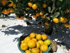 湖南特早熟柑橘苗基地 1-3年生由良蜜桔樹苗