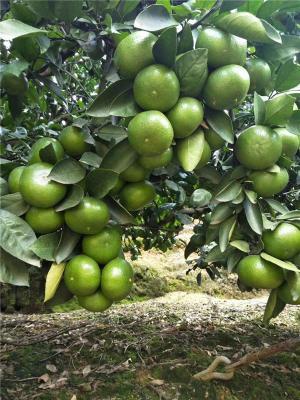 特早熟柑桔 大分四号柑橘苗 果实均重120g