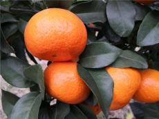 早熟愛莎柑橘種苗基地 1-3年生愛莎雜柑樹苗