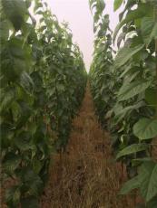 米徑1-2公分杜仲樹苗