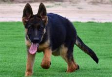 犬舍直销大骨架纯种德国牧羊犬黑背犬 包纯