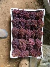葡萄無核劑處理 茉莉香著色香膨大劑 沾花藥