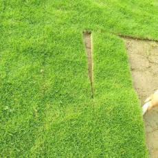 寵物狗喜歡的草