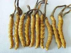 天河高價回收發黑蟲草 回收斷條蟲草