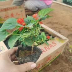 青州一串紅種植基地 一串紅杯苗批發價格