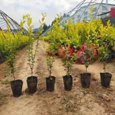 青州金葉女貞杯苗種植與批發基地