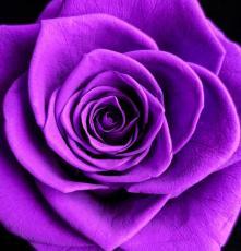 玫瑰花鮮切花防霉劑 噴灑處理 不留痕