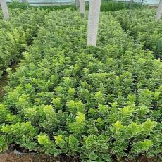 濟南金邊黃楊杯苗批發與種植基地