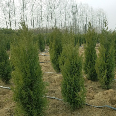 近期1米高松柏樹苗價值多少錢一棵