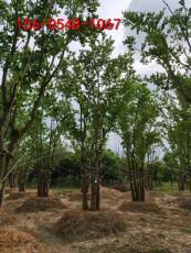 丛生榉树3米4米丛生榉树3.5米丛生榉树
