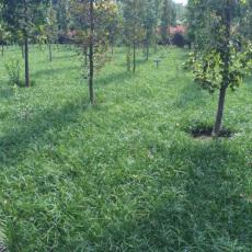 綠化麥冬草一斤多少錢批發價格