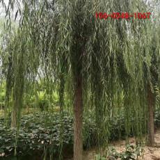 供应旱柳12-15公分垂柳15-18-20公分旱柳