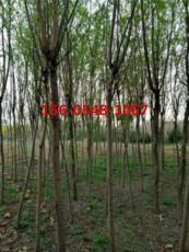直销垂柳树苗-金丝垂柳-12公分15公分旱柳苗