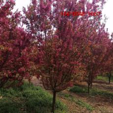 常年出售绚丽海棠12-15公分绚丽海棠