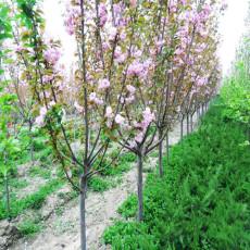 7公分櫻花樹-9公分10公分櫻花樹苗成活率高
