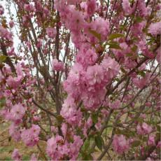 高桿櫻花樹8公分10公分櫻花樹