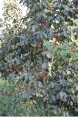 8公分柿子樹出售8公分柿子樹8公分柿子樹